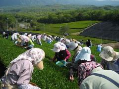 420px-Tea_picking_01.jpg