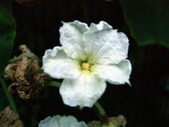 330px-Calabash_flower.jpg