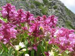 360px-Pedicularis_verticillata_01.jpg