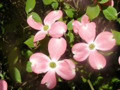 600px-Cornouiller__fleurs_roses_Cornus_florida.jpg