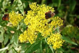 360px-Patrinia_scabiosifolia_and_Lycaena_phlaeas_2011-09-25.jpg