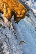255px-Grizzly_Bear_Fishing_Brooks_Falls.jpg