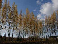375px-White_birch_housei-pref_china096251.jpg