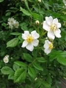 202px-Rosa_multiflora_1006.JPG