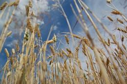 330px-Wheat_blue_sky2.JPG