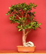 171px-Crassula_bonsai.jpg