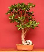 171px-Crassula_bonsai.jpg