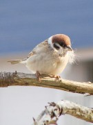 300px-Tree_Sparrow_20080423.JPG