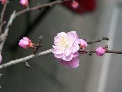 360px-Plum_flower_1.JPG