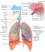 Respiratory_system_complete_ensvg.png