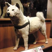 270px-Hachiko_Stuffed_specimen.jpg