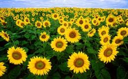 330px-Sunflowers.jpg