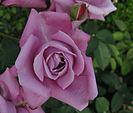 133px-Rosa_Charles_de_Gaulle01.jpg