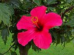 151px-Hibiskus_rosa-sinensis_-_Kwiat_02.jpg