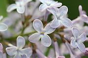 180px-Syringa_vulgaris-01_xndr.jpg