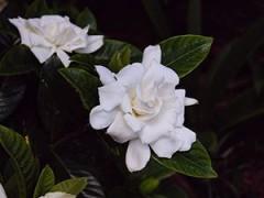 300px-Gardenia_jasminoides_cultivar_magnifica_1.jpg