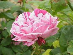 330px-Rosa_sp6.jpg