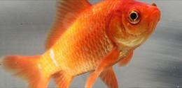 345px-Common_goldfish.jpg