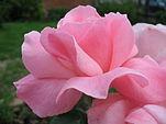 151px-Rosa_Queen_Elizabeth1ZIXIETTE.jpg