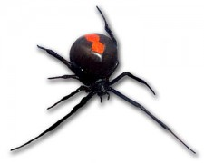 375px-Redback_frontal_view.jpg