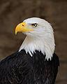 96px-Bald_Eagle_Portrait