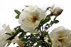 250px-Rosa_pimpinellifolia_Plena_2008